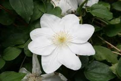 Clematis Madame Le Coultre